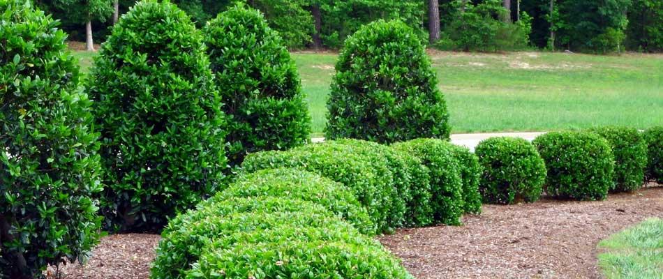 Trimming For Landscaping Hedges Amp Bushes Jackson